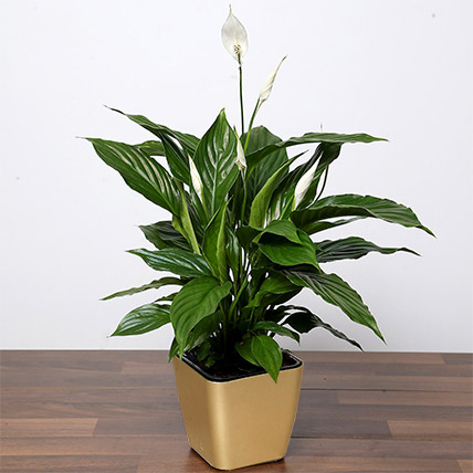 Amazing Peace Lily Plant: Plants in Dubai