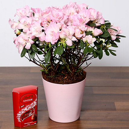 Beautiful Pink Azalea Plant and Lindt Truffles: Shrubs