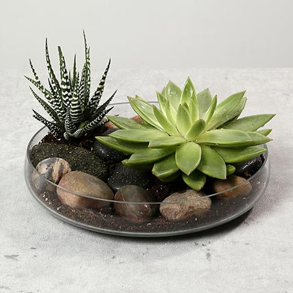 Green Echeveria and Haworthia with Natural Stones: Plants in Dubai