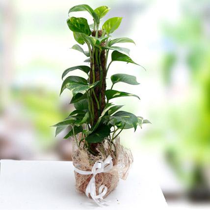 Utmost Perfection: Money Tree Plants