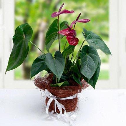 Simply Splendid Flowers: Anthuriums Flower Dubai