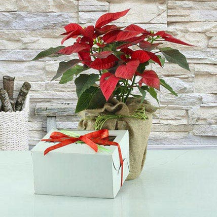 Christmas Poinsettia: