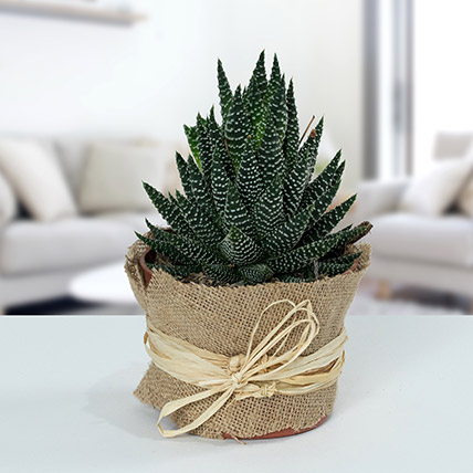 Howarthia Potted Plant In Jute: Home Decor Items