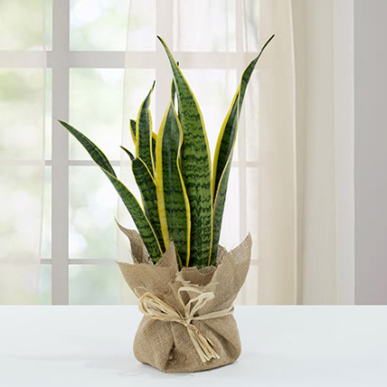 Sanseveria Plant with Jute Wrapping Pot: Home Decor Items