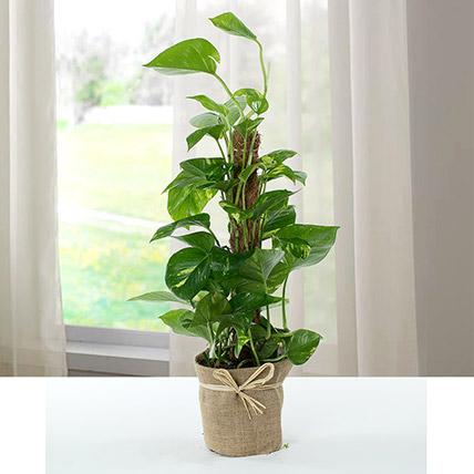 Jute Wrapped Epipremnum Aureum Plant: Indoor Plants in Dubai