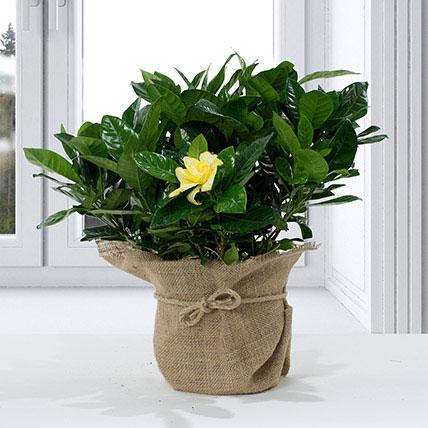 Gardenia Jasminoides with Jute Wrapped Pot: Best Flowering Plants