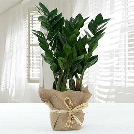 Jute Wrapped Zamia Potted Plant: