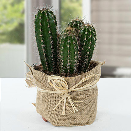 Cactus Jute Wrapped Potted Plant: Best Outdoor Plants in Dubai