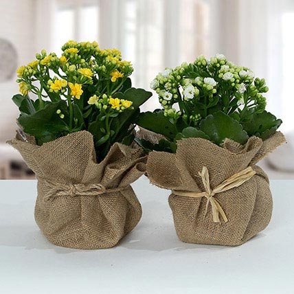 Jute Wrapped Dual Potted Plants: Best Flowering Plants