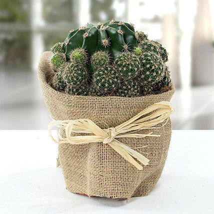 Elegant Cactus with Jute Wrapped Pot: Best Outdoor Plants in Dubai