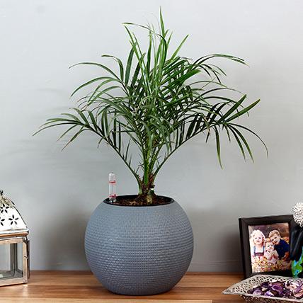 Areca Plam Plant in Blue Plastic Pot: Best Outdoor Plants in Dubai