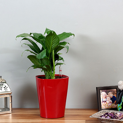 Peace Lily in Red Plastic Pot: Best Outdoor Plants in Dubai