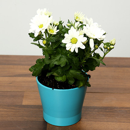 White Chrysanthemums Plant In Blue Ceramic Pot: Plants in Dubai