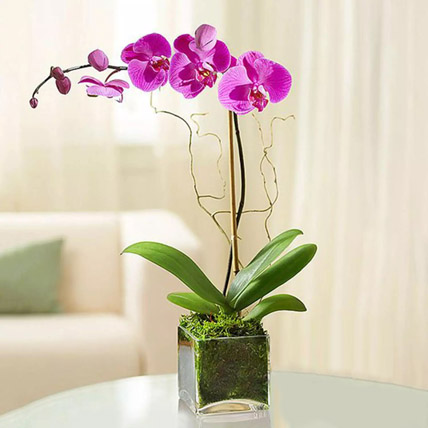 Purple Orchid Plant In Glass Vase: Plants