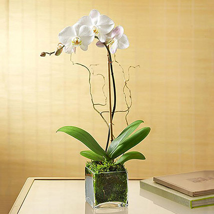 White Orchid Plant In Glass Vase: