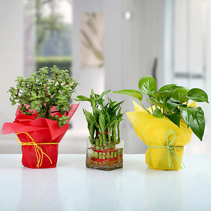 Set of 3 Good Luck Plants: Money Plants
