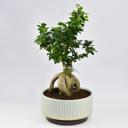 Bonsai Plant In Green Pot: Indoor Bonsai Tree