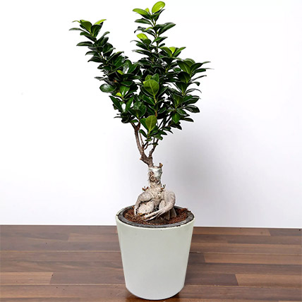 Ficus Bonsai Plant In Ceramic Pot: Plants