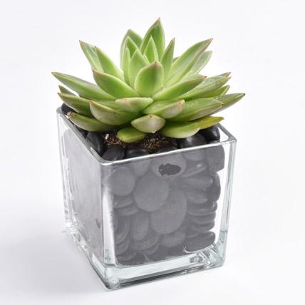 Green Echeveria Plant In Square Vase: Cactus Plants and Succulents Plants