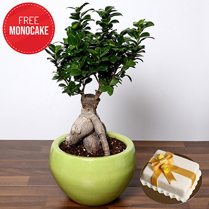 Bonsai Plant and Free Mono Cake: Indoor Bonsai Tree