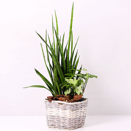 Basket of Sansevieria and Syngonium Plants: