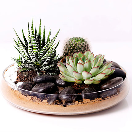Combo of 3 Plants In Clear Glass Platter: Plants