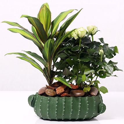Cordyline and White Rose Plants in Designer Pot: