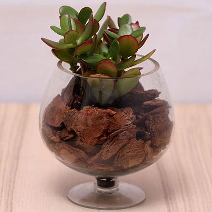Crassula Plant in Wine Glass: