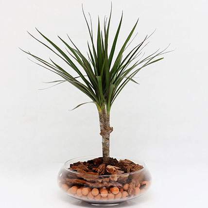 Dracaena Plant In Clear Glass Pot: Air Purifying Indoor Plants