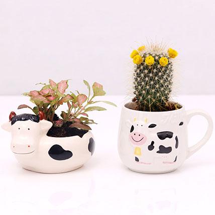 Fittonia and Cactus In Designer Pots: Succulent Plants