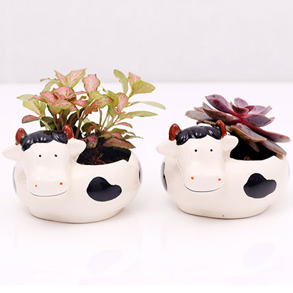 Fittonia and Echeveria Plants in Cow Design Pots: Plants