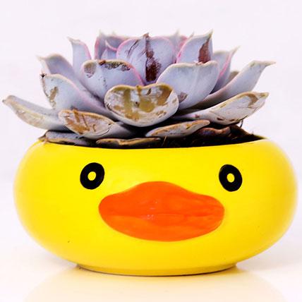 Purple Echeveria in Duck Face Pot: Desktop Plants
