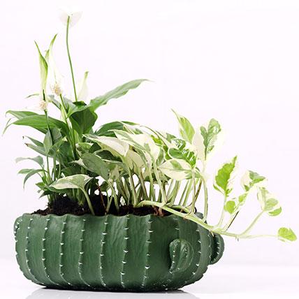 Spathiphyllum and Scindapsus In Designer Pot: