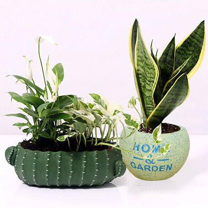 Celebrate with Plants: Money Plants