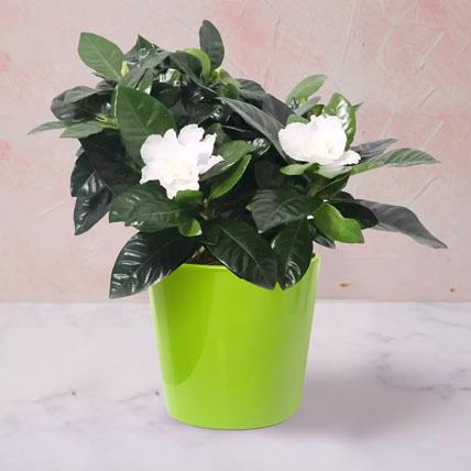 Gardenia Jasminoides Plant In Ceramic Pot: