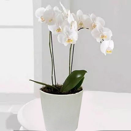 White Phalaenopsis Orchid Plant: Orchid Plants