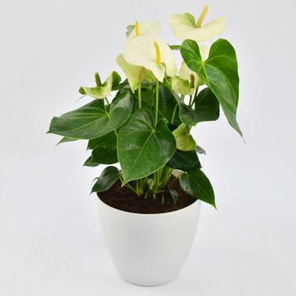 White Anthurium Plant In Ceramic Pot: Plants In Dubai