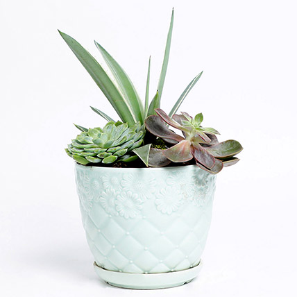 Agave Attenuata With Succulents: