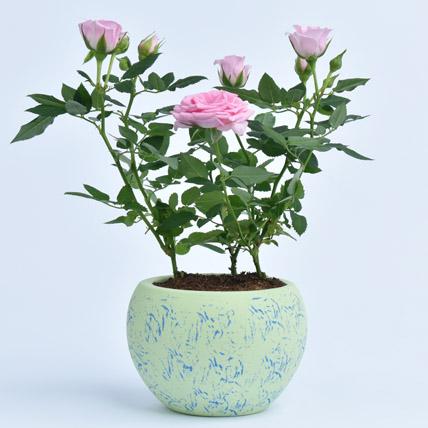 Pink Rose Plant: Shrubs