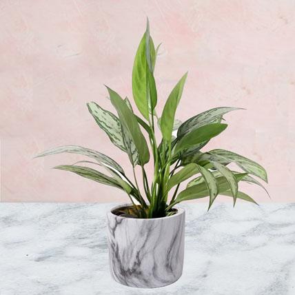 Aglaonema Plant in Ceramic Pot: lucky plants