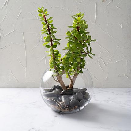 Jade Plant In Glass Bowl: Plants In Dubai