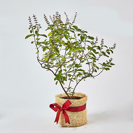 Jute Wrapped Tulsi Plant: Outdoor Plants