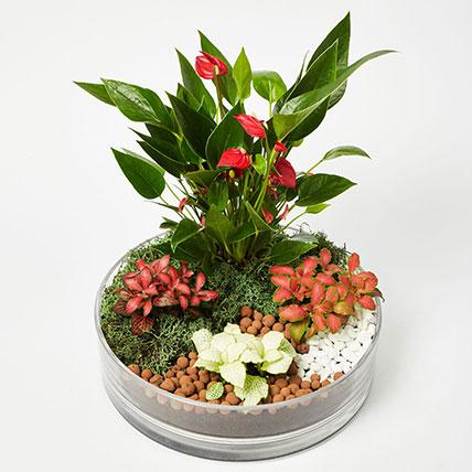 3 Fittonia & 1 Anthurium Plant In Platter Shape Planter: Plants  Shop