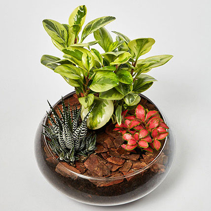 Fittonia With Peperomia & Haworthia In Platter Planter: Office Plants