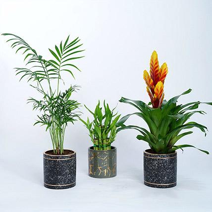 Set of 3 Plants in Designer Vases: Lucky Bamboo