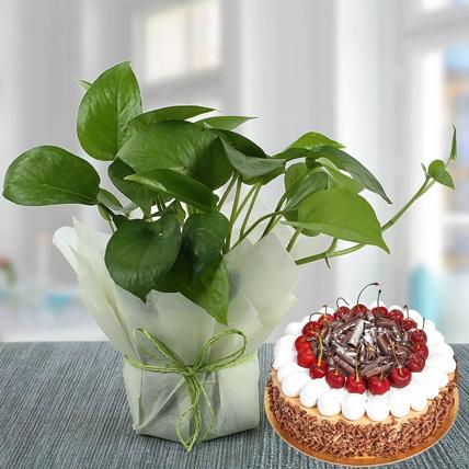 Money Plant and Blackforest Cake Combo: Money Plants