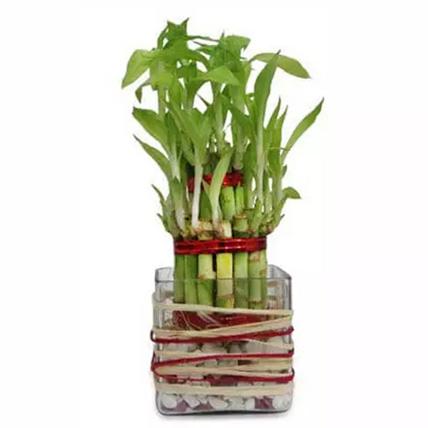 Good Luck Bamboo: Plants  Shop