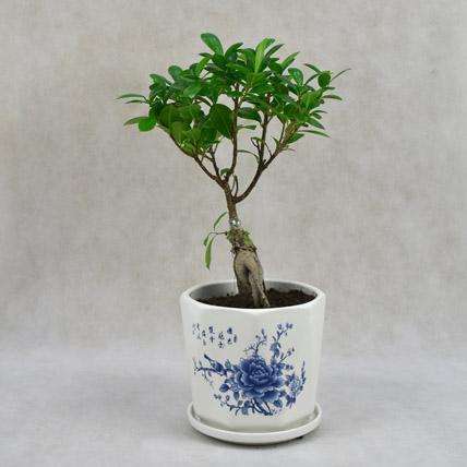 Ficus in Beautiful Printed Ceramic Planter: Bonsai Plants