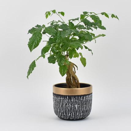 Radermachera Plant: Bonsai Plants