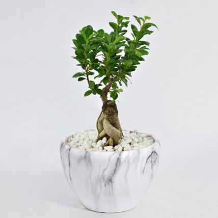 Bonsai Plant In Ceramic Pot: Plants Offers